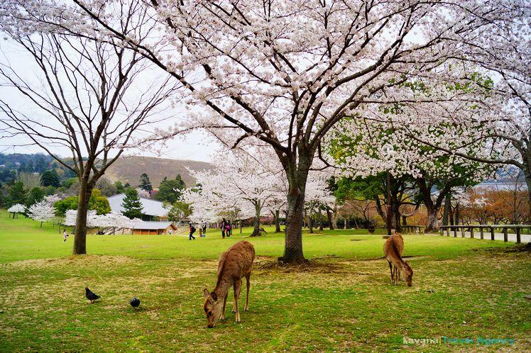 奈良,奈良公園。